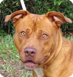 American Staffordshire Terrier Mix Dog for adoption in Daytona Beach, Florida - Thor