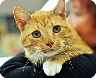 Domestic Shorthair Cat for adoption in Great Falls, Montana - Julio