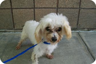Poodle (Miniature) Mix Dog for adoption in Copperas Cove, Texas - No Name