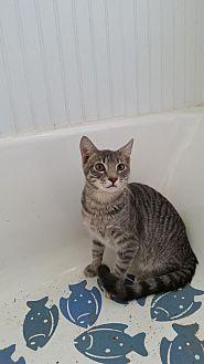 Domestic Shorthair Cat for adoption in Clarkson, Kentucky - Linus Van Pelt