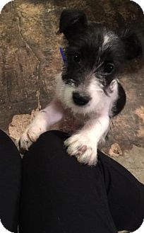 Rat Terrier Mix Puppy for adoption in Ft. Towson, Oklahoma - Bodie