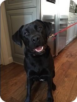 Labrador Retriever Mix Dog for adoption in Chicago, Illinois - Mandy