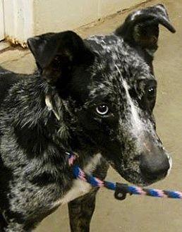 Australian Shepherd Mix Dog for adoption in Amarillo, Texas - Abigail