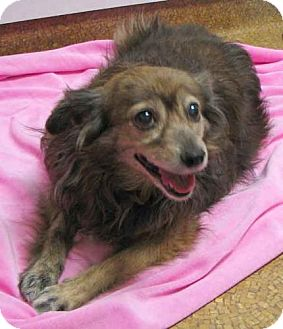 Chihuahua/Pomeranian Mix Dog for adoption in Wakefield, Massachusetts - Candy