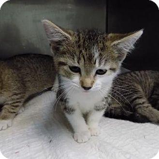 Domestic Shorthair Kitten for adoption in Edwardsville, Illinois - White Sox