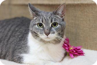 Domestic Shorthair Cat for adoption in Midland, Michigan - Jingles - $10!