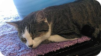 Domestic Shorthair Cat for adoption in Georgetown, Delaware - House