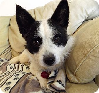 Cairn Terrier/Fox Terrier (Wirehaired) Mix Dog for adoption in Nashville, Tennessee - Trixie