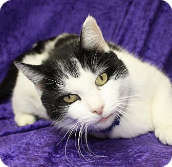 Domestic Shorthair Cat for adoption in Jackson, Michigan - Lucy