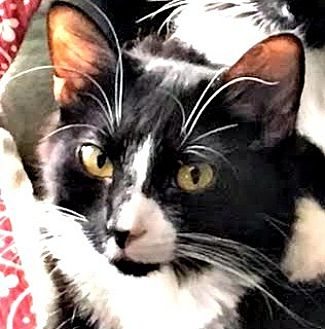 Domestic Longhair Cat for adoption in Burlington, North Carolina - ELOISE