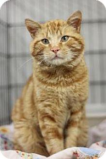 Domestic Shorthair Cat for adoption in Yukon, Oklahoma - KR 3