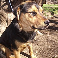 Adopt A Pet :: Nala - Dallas, TX