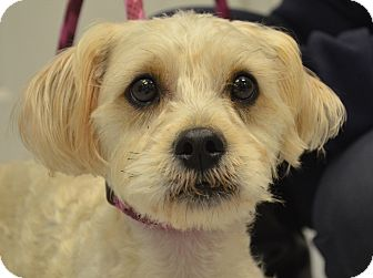 Maltese/Poodle (Miniature) Mix Dog for adoption in Martinsville, Indiana - Bogart