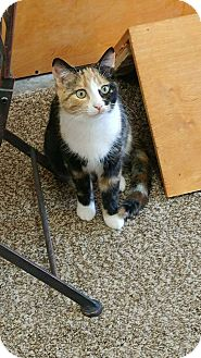 Calico Cat for adoption in Columbus, Ohio - Aurora