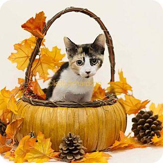 Calico Kitten for adoption in Oviedo, Florida - Selena