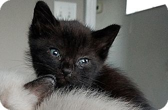 Domestic Shorthair Kitten for adoption in Tampa, Florida - Onyx