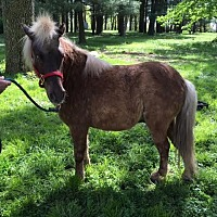 Pony - Other Mix for adoption in Dewey, Illinois - Dapples