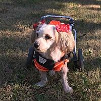 Adopt A Pet :: Biscotti - Colorado Springs, CO