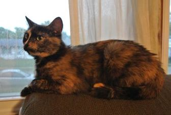 Domestic Shorthair/Domestic Shorthair Mix Cat for adoption in Des Moines, Iowa - Sunny