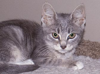 Domestic Shorthair Kitten for adoption in Elmwood Park, New Jersey - Cutefive