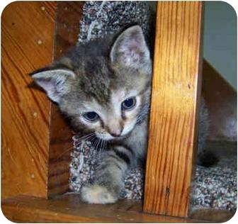 Domestic Shorthair Kitten for adoption in Brighton, Michigan - Chocolate