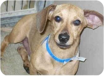 Dachshund Mix Puppy for adoption in San Clemente, California - BROWNIE