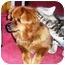 Photo 4 - Pomeranian/Pekingese Mix Dog for adoption in Osseo, Minnesota - Sunny