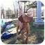 Photo 1 - Vizsla/Labrador Retriever Mix Dog for adoption in Reisterstown, Maryland - Bodhi