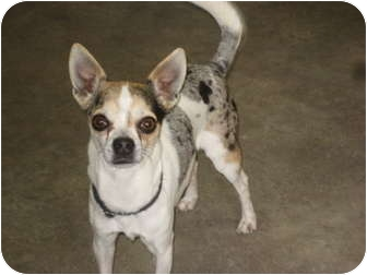 Chihuahua Dog for adoption in Rock Springs, Wyoming - Spud