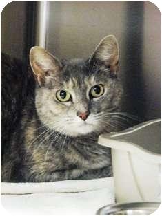 Domestic Shorthair Cat for adoption in Norwalk, Connecticut - Cali