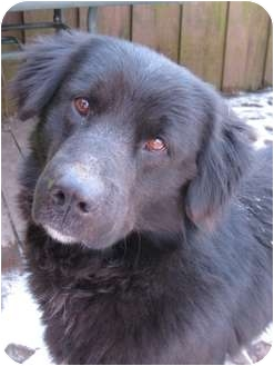 Border Collie/Labrador Retriever Mix Dog for adoption in Warsaw, Indiana - Duke
