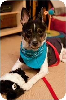 Jack Russell Terrier Dog for adoption in Long Beach, New York - Jack