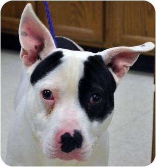American Pit Bull Terrier Dog for adoption in Claypool, Indiana - Rascal