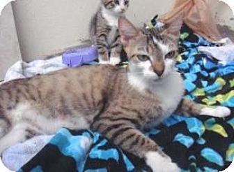 Domestic Shorthair Cat for adoption in Miami, Florida - Mom Cat