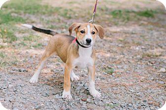 Labrador Retriever Mix Puppy for adoption in Marietta, Georgia - Kendra