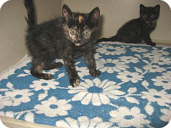 Domestic Shorthair Kitten for adoption in Hamilton, New Jersey - KIT KAT & REESE - 2012