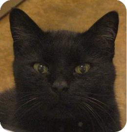 Domestic Shorthair Cat for adoption in Ithaca, New York - Merlin 13924-c
