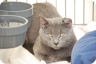 Russian Blue Cat for adoption in Trevose, Pennsylvania - Marlow