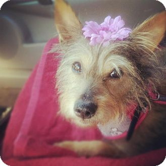 Pomeranian/Yorkie, Yorkshire Terrier Mix Dog for adoption in Las Vegas, Nevada - Leila