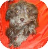Havanese Puppy for adoption in Antioch, Illinois - Pinar