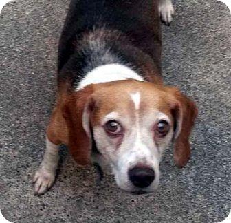 Beagle Dog for adoption in Houston, Texas - Georgie