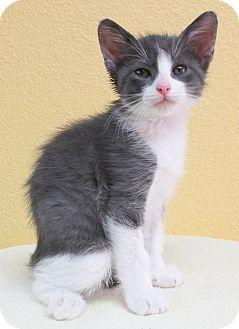 Domestic Shorthair Kitten for adoption in Benbrook, Texas - Newton