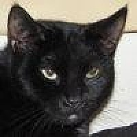 Domestic Shorthair Cat for adoption in Lago Vista, Texas - Gummibear