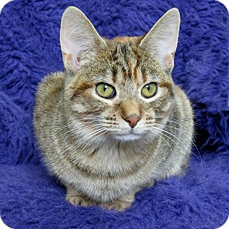 Domestic Shorthair Kitten for adoption in Columbia, Illinois - Hazel