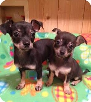 Chihuahua Mix Puppy for adoption in Huntsville, Alabama - Bam Bam & Dino