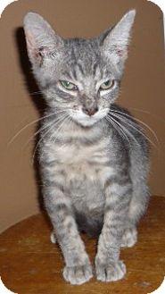Ocicat Kitten for adoption in Dallas, Texas - Blue Baby