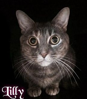 Domestic Shorthair Cat for adoption in Maumelle, Arkansas - Lilly - Foster (112) 2015