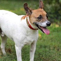 Feist Mix Dog for adoption in Norfolk, Virginia - HAROLD
