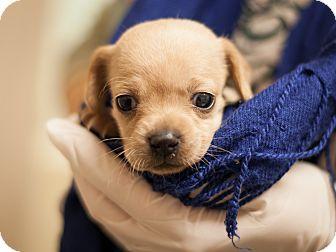 Dachshund/Chihuahua Mix Puppy for adoption in Dallas, Texas - Stacia