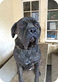 Cane Corso Dog for adoption in Van Nuys, California - Koda